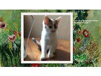 Lovely Little kitten white and ginger at Lewisham_ kittens cat