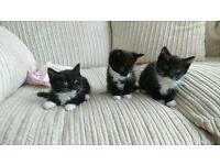Female balck and white kittens