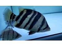 Datanioides tiger fish