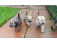 Irish soft coated wheaten terrier pups for sale