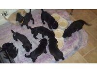 Lab x ridge back puppies