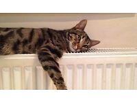 Cute Kitten 10 Months Old Bengal Cross with Norwegian Forest