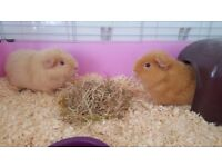 Two lovely friendly Guinea Pigs to be rehomed