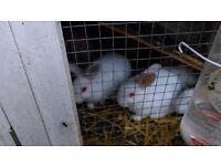 1 male and 1 female albino bunnies