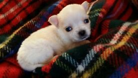All white pedigree long hair chihuahua boy puppy for sale