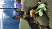 adorible cuddly min pin