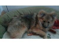 Beautiful Pomeranian Girl For Sale
