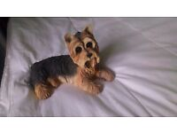 Four yorkie dogs in different poses