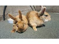 *FREE*2 RABBITS AND DOUBLE HUTCH