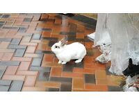 Gorgeous white bunny seeks new home