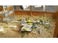 HEALTHY & COLOURFUL BUDGIES FOR SALE