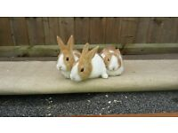 Baby Yellow Dutch Rabbits for Sale