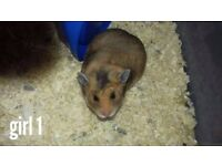 Beautiful young female Syrian Hamsters (only 2 left)