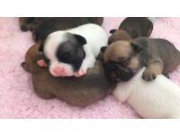 French bulldog puppies. Boys and girls
