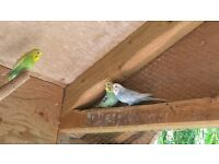 Budgies, 3 female that are about 2 years old