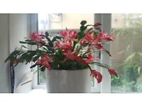 Christmas cactus indoor plant