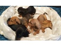 stunning miniature smooth haired dachshund puppies for sale