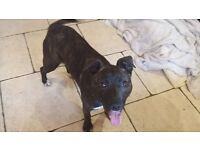 Loving Home Needed - 1 year old male Staffy x - Alex - Perfect Paws Dog Sanctuary
