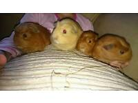 Four male babies guinea pigs for sale