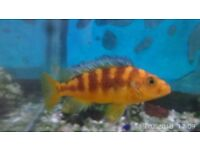 Fish. 2× colour changing bumblebee cichlids