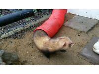 2 male ferrets with cage and toys