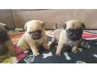 Beautiful 3/4 pug puppies