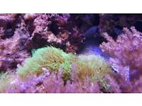 Green Star Polyp reef soft marine coral