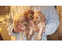 gorgeus red f2 cockapoo puppys