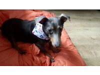 Loving Home Needed - 5 year old male terrier - Perfect Paws Dog SAnctuary