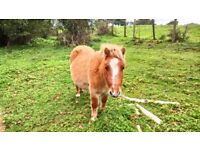 2 x Shetland Ponies For Sale