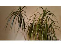 Dragon House Plant