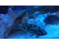Malawi cichild tropical fish