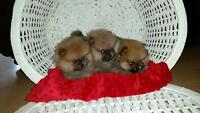 CKC Registered Pomerania Puppies For Sale