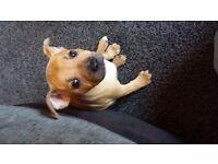 Beautiful little tan staff puppy