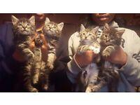 Full tabby kittens 8 weeks old