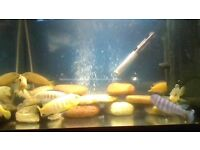 medium and large malawi cichlids for sale £3 medium, £6 large.