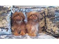 Stunning KC Registered Shih Tzu Puppy Girls