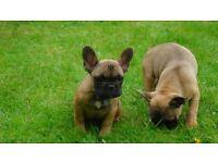 kc reg french bulldog puppies 2 girls