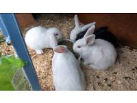 Stunning lop eared baby rabbits
