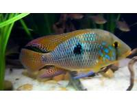 Geophagus braziliensis,Green terror,Royal accara,Silver dollar and more cichlids 15 total
