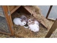 4 Baby Rabbits Ready Now