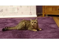 6 month old brown spotted tabby British shorthair