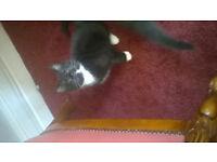 black and white kitten boy