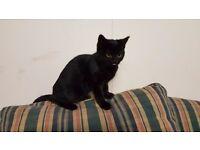 black male kitten from pedigree british shorthair parents