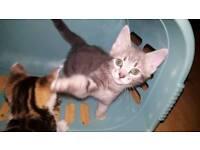 Female silver kitten
