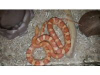 2 Year Old Female Corn Snake