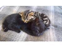 Stunning Black Kitten 🐱