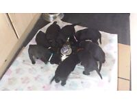 Lovable Black Labrador Puppies