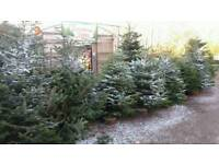 Large Christmas trees cheap!!