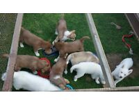 Siberian husky puppies for sell
